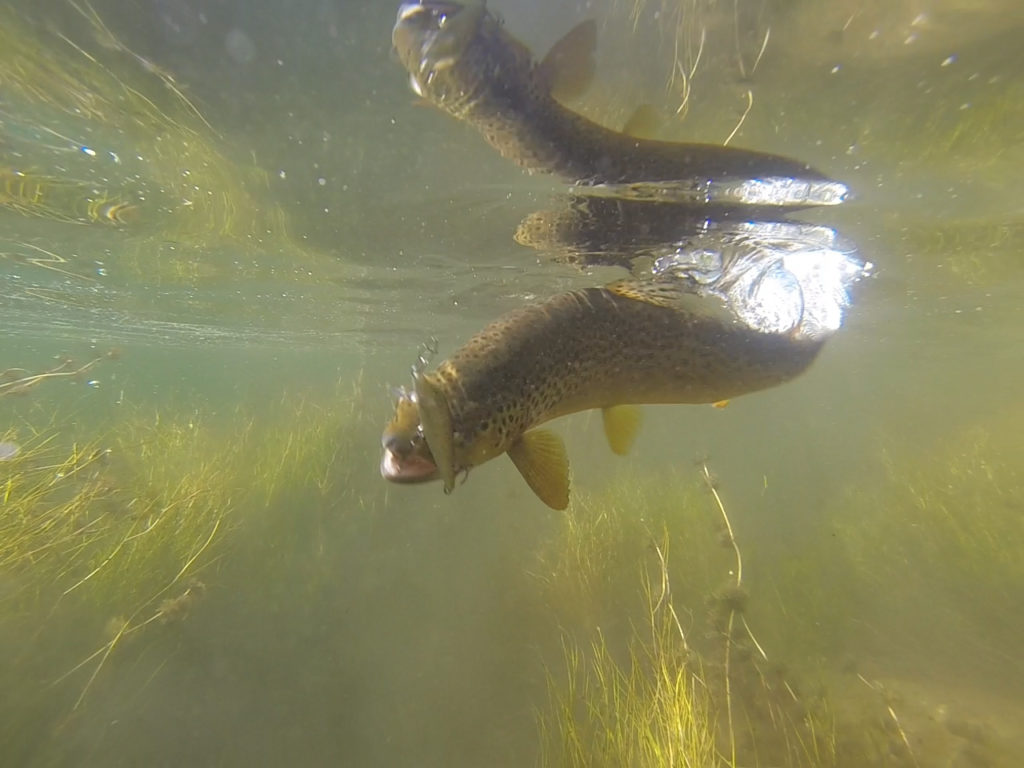 Brown trout being caught in a river by a original rapala fishing lure